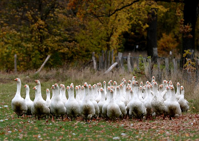 Geese shamble across a meadow at the farm Ruden near Neu Fahrland, eastern Germany on October 23, 2013. The poultry is raised for the Christmas feast and will cost about 60 – 80 Euro a piece.  AFP PHOTO / DPA/ RALF HIRSCHBERGER             GERMANY OUT