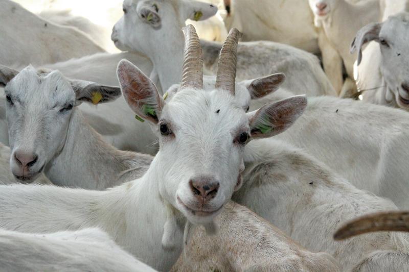 """Z/s """"Muižnieki"""".   Saimniecībā audzē šķirnes piena kazas, arī pārdošanai. Lielākā šķirnes dzīvnieku audzēšanas saimniecība Latvijā. Pārdod pārstrādes uzņēmiem kazas pienu. Gatavo kazas sierus. Uzņem ekskursantus. Cerieši, Blome, Blomes pag., Smiltenes nov.   17.09/2013 foto: Valdis Semjonovs/ Latvijas Avīze/"""
