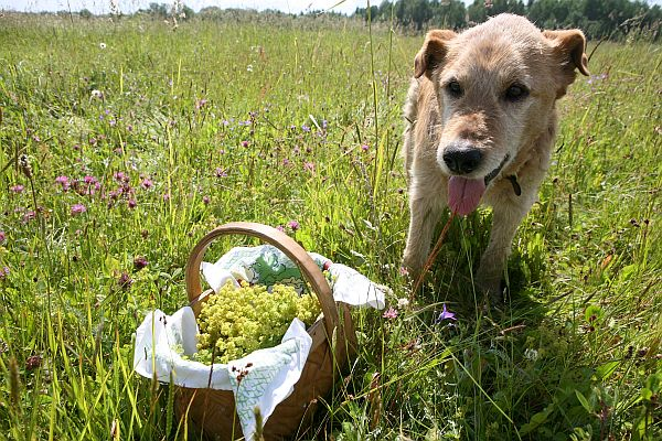Suns pļavā.