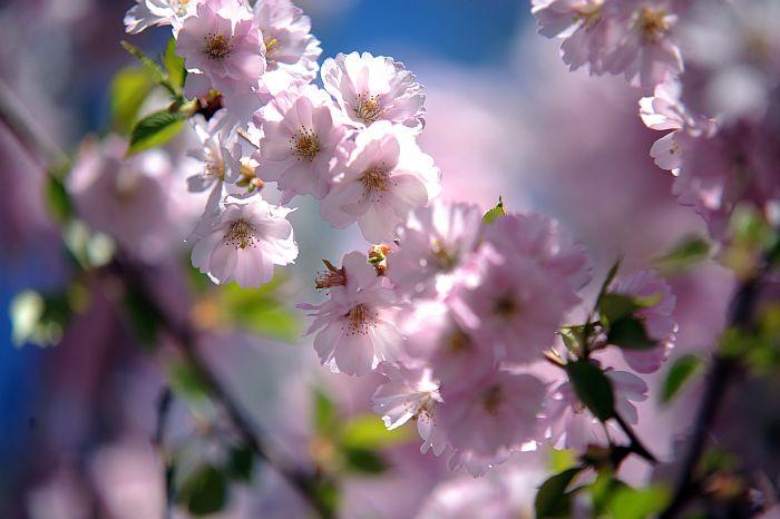 Ziedošās sakuras zari.