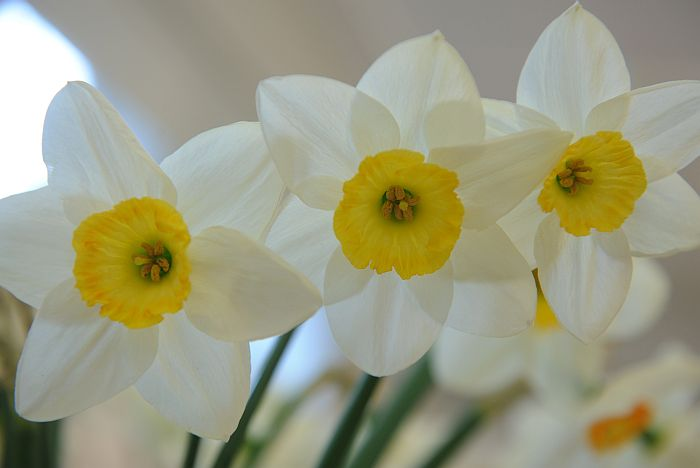 """Narcises izstādē """"Pavasaris savvaļā un dārzā"""" Latvijas Dabas muzejā."""