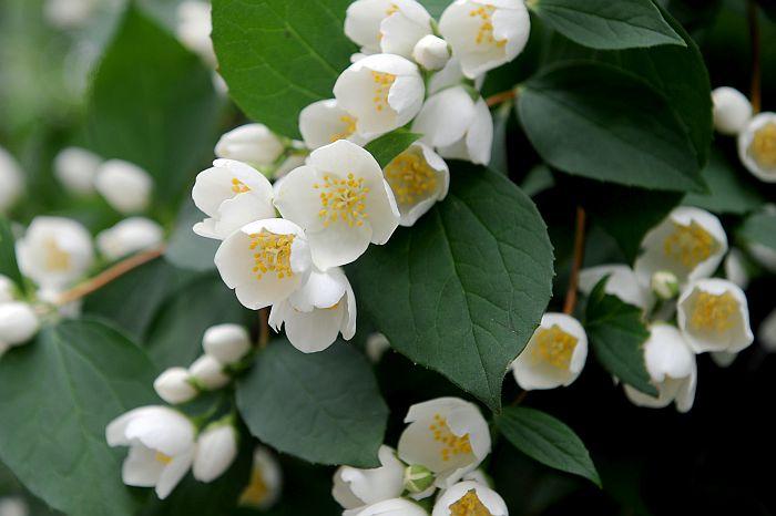 Jasmīnu ziedi.