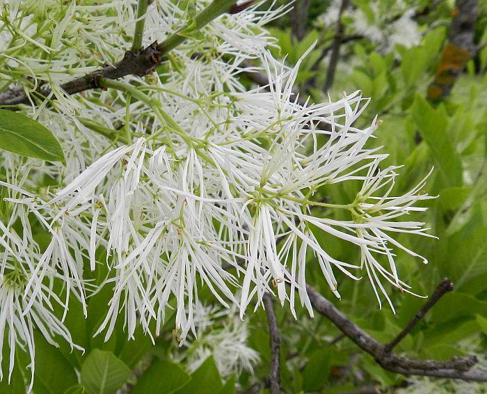 Virdžīnijas sniegpārsliņu koks
