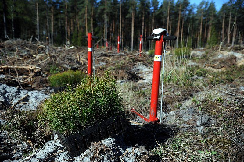 Jauna priežu meža stādīšana Ikšķiles novadā.