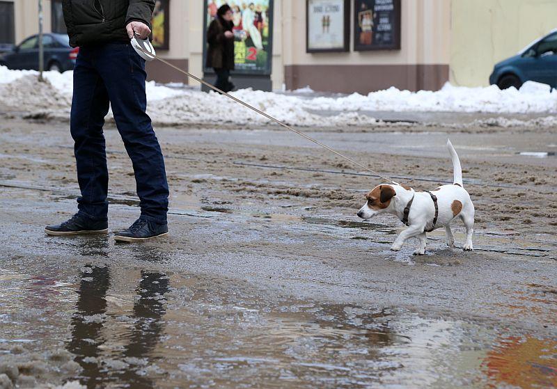 Suns un kūstošā sniega peļķes Kr.Barona ielā.