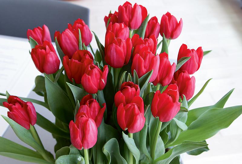 Jaunas tulpju šķirnes dāvinājums Latvijai. Jauno tulpju šķirni Ārlietu ministrijas parlamentārajai sekretārei Zandai Kalniņai-Lakševicai simboliski pasniedz Nīderlandes ārkārtējais un pilnvarotais vēstnieks Latvijā V.E. Hendriks van den Dols.