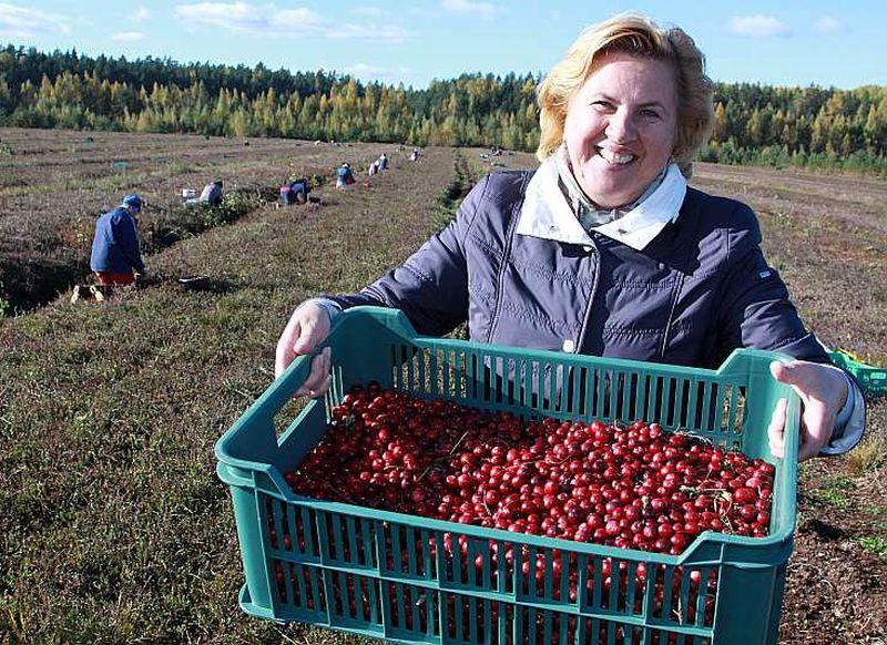 """""""Very Berry"""" saimniece Gundega Sauškina priecājas par labo dzērveņu ražu, kas pieprasīta gan pašmāju tirgos, gan citās valstīs. (arhīva foto, 2015.g.)"""