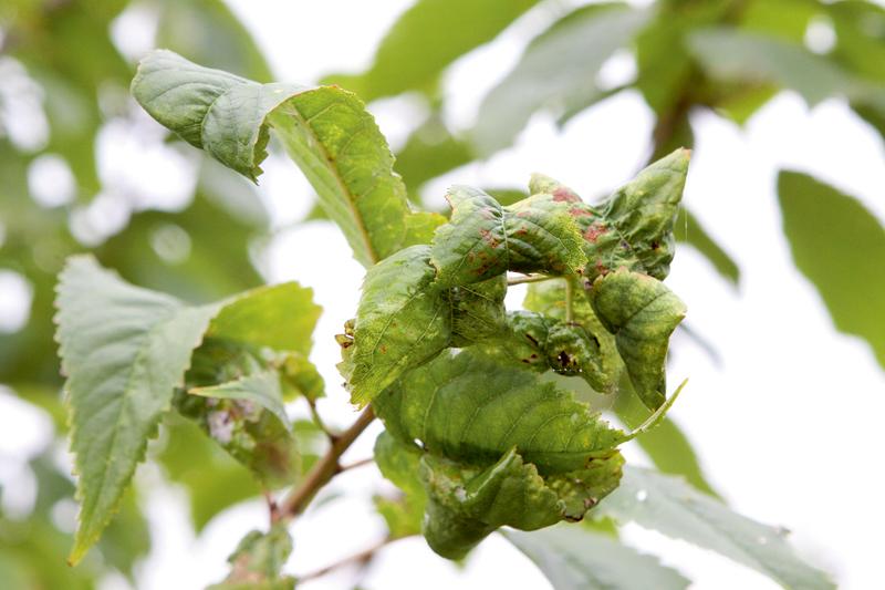 Ja dzinumu galotnes stipri bojā laputis, lapu malas noliecas uz leju, dzinumi pārstāj augt.