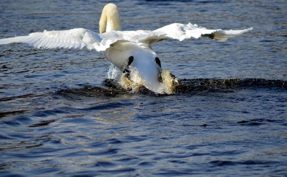 Gulbji Juglas ezerā.