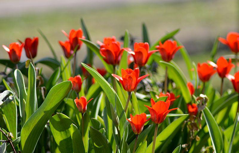 Tulpes.