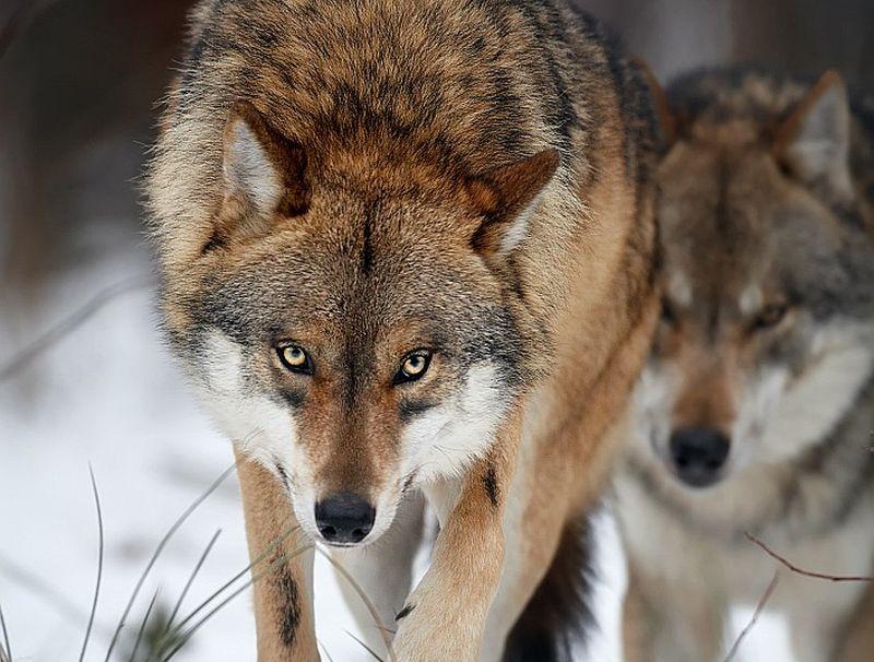 Ja aizliegtu medīt vilkus, tie daudz biežāk parādītos apdzīvotās vietās un ļoti drīz mēs sagaidītu arī uzbrukumus cilvēkiem. Izslēgt to nevar.