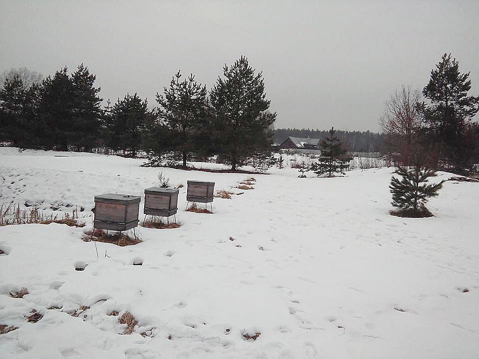 """No šīs vietas Vālodzēs nozaga piecus """"Baltu dravas"""" stropus, atstājot trīs, kuros bites bija mirušas. Sniegā var redzēt, kur stāvējuši nočieptie stropi."""
