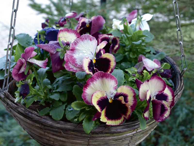 Atraitnītes. Lielziedu atraitnīšu grupa Inspire. Pavasara un vasaras pirmās puses prieks. Lieli ziedi, daudz šķirņu, izturīgas, nebīstas aukstuma, var stādīt rudenī dobē, bet nepatīk bieža atkušņu un sala maiņa. Drošāk pārziemināt neapkurināmā siltumnīcā. Grupai Inspire DeluXXe ir izcili, lieli ziedi.