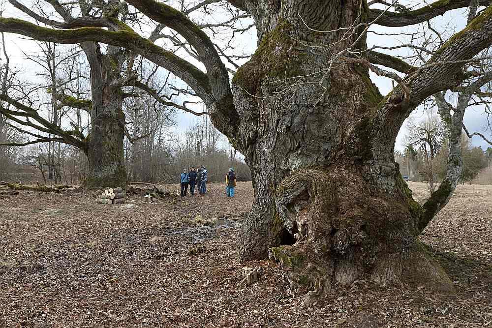 Trīs varenie Sipju ozoli Kuldīgas novada Rumbas pagastā bija ieauguši krūmos. Jaunie, audzelīgie koki atņem vecajiem barības vielas, arī aizēno, tā novārdzinot dižkokus.