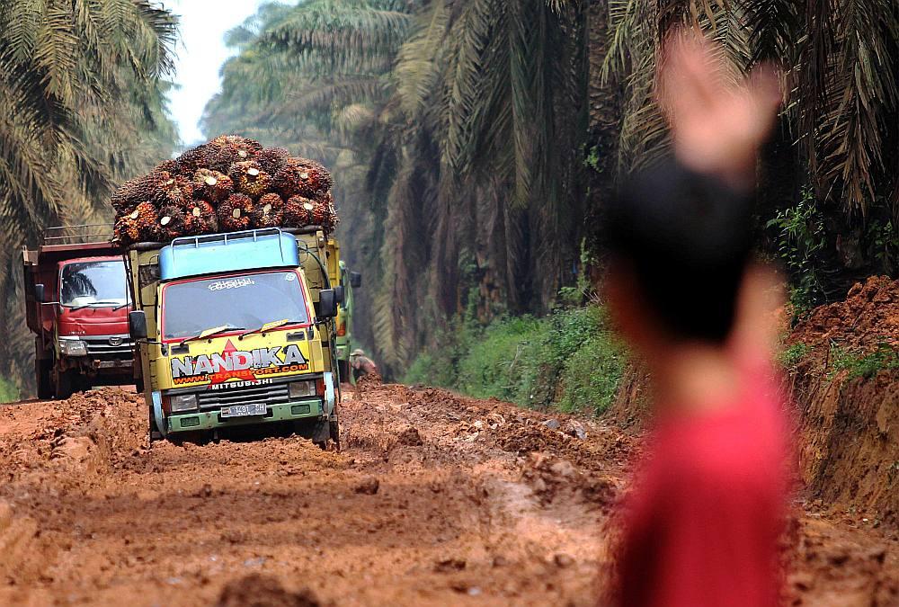 Smagās automašīnas izved palmu eļļas augļus Mesudžirajas ciemā Dienvidsumatras provincē Indonēzijā janvārī.