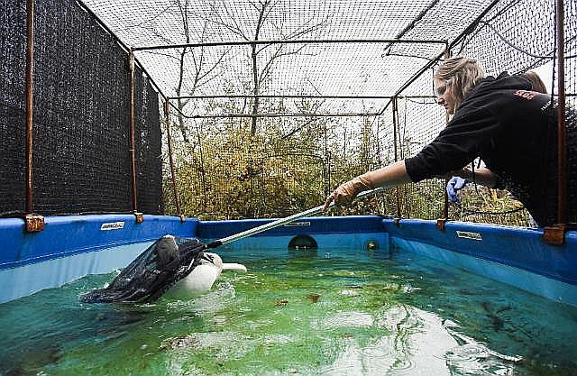 Brīvprātīgā Jama Hellere no Eiropas Brīvprātīgo dienesta meža dzīvnieku glābšanas centrā Ostendē, Beļģijā.