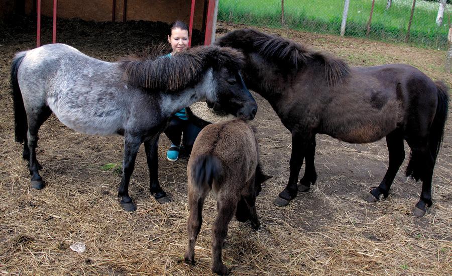 Zoodārza saimniece ar saviem ponijiem – Kassandru, Dragonu un viņu meitu Sapfīru.