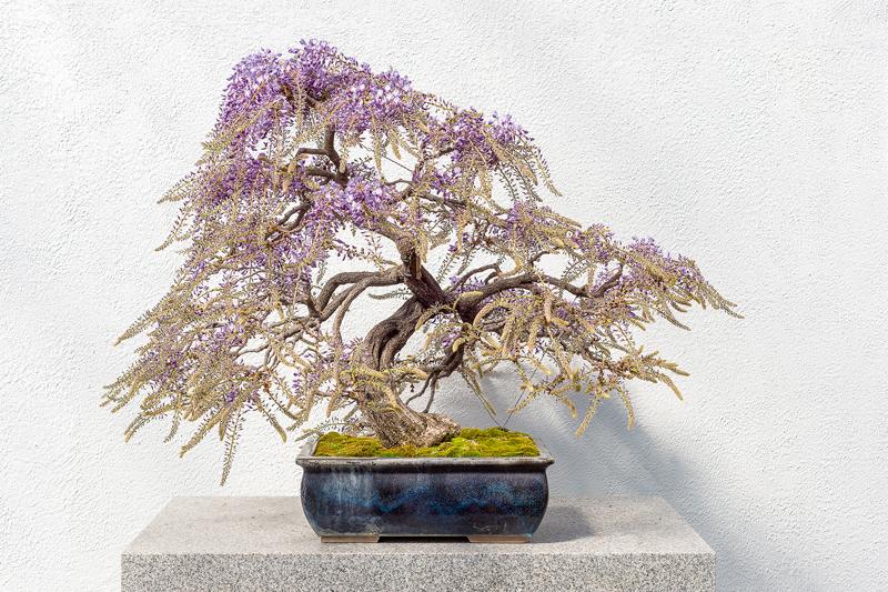 2. Japānas jeb daudzziedu vistērija (Wisteria floribunda)