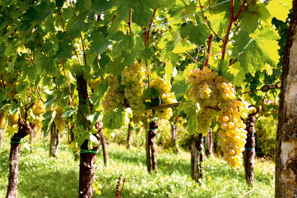 Vīnogulāji ir teju katras slovēņu ģimenes lepnums