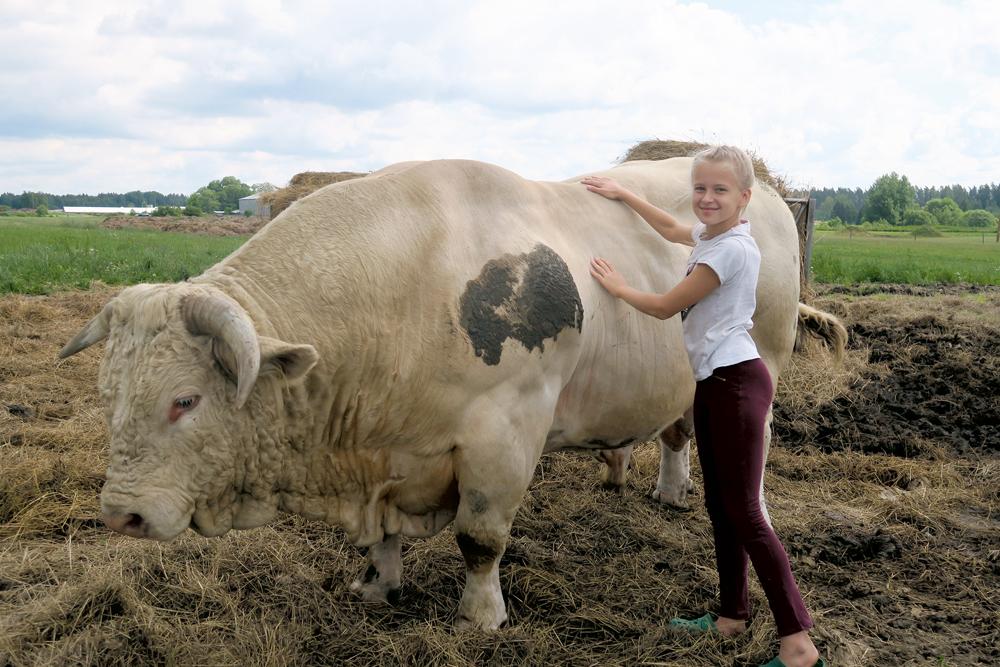 """Rūta ar Fanfanu, franču līnijas Šarolē bulli. Tam muskuļu masa salīdzinājumā ar """"vācieti"""" un """"zviedru"""" ir lielāka"""
