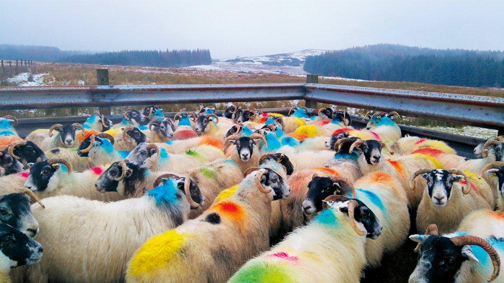 Dažādi marķētās grūsnās aitas Skotijā
