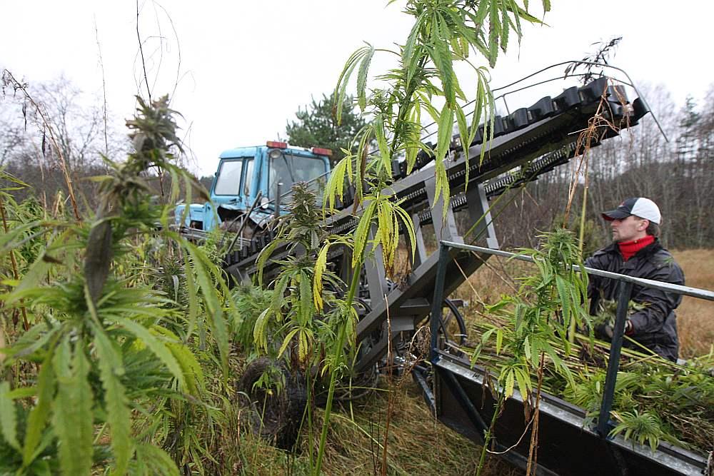 Kaņepju pļauja ar Voldemāra Cīruļa konstruēto kaņepju pļāvēju. Tam tagad tāpat kā kaņepju sukāšanas iekārtai tiek meklēts pircējs.