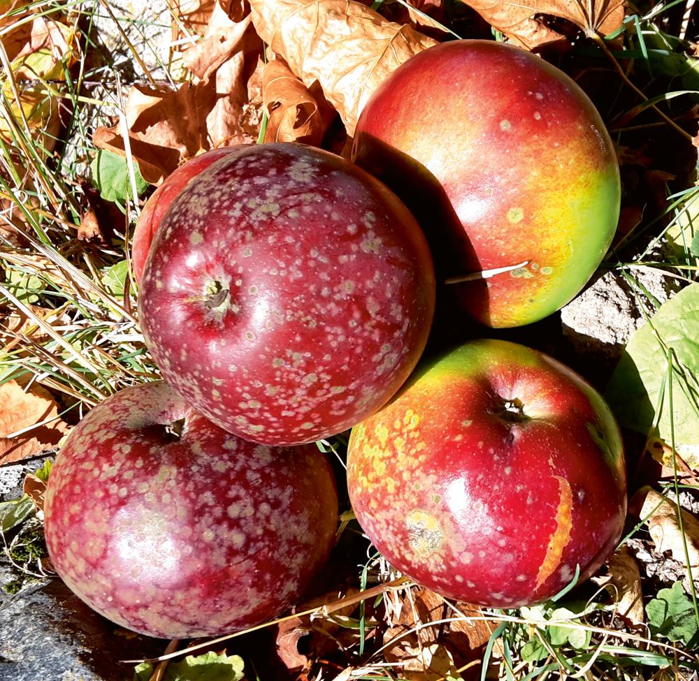 Ābeļu kraupis uz augļiem