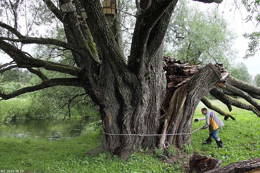 Dzenīšu vītola apkārtmērs pusmetra augstumā ir 9,06 metri. Taču visai ticami, ka koks ir vēl dižāks, jo, neraugoties uz ievērojamo vecumu, tas katru gadu turpina briest resnumā par apmēram septiņiem centimetriem.