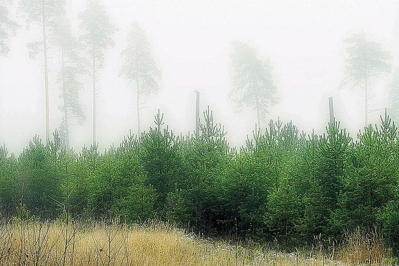 Pēc kailcirtes atjaunotā priežu audze izaugusi lekna.