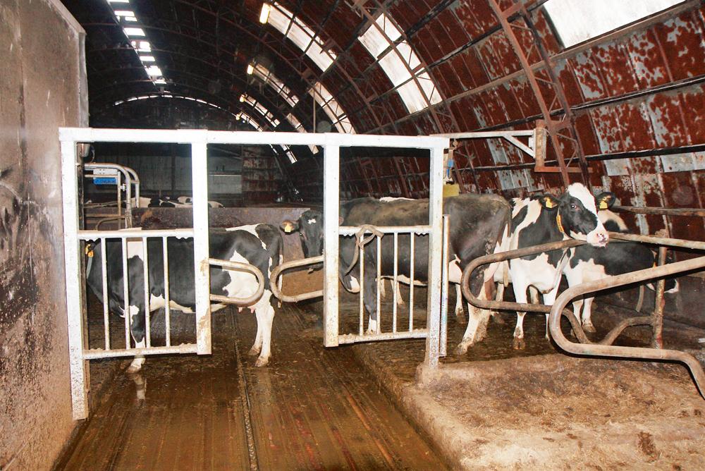 Govis stāv rindā uz slaukšanu pēc datora mazgāšanas. Tur r gan dzirdne, gan birste. Priekšplānā vārti, kas nodala veterinārās zonas trīs guļvietas.