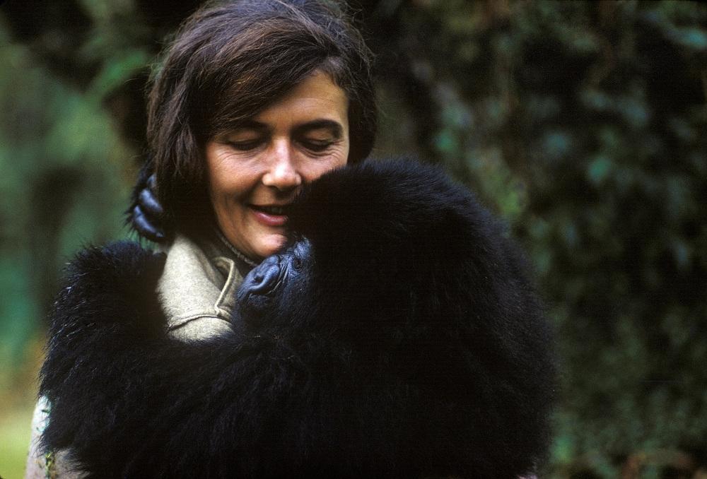 Gorillu pētnieci Diānu Fosiju nogalināja viņas mājiņā Ruandas kalnos 1985. gada Ziemassvētkos.