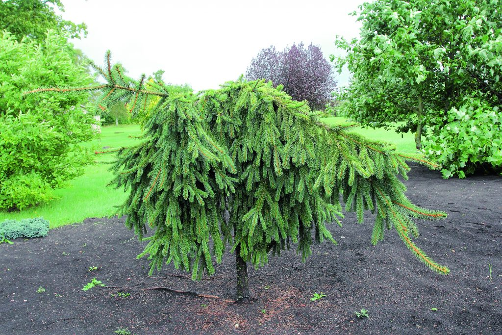 Parastās egles (Picea abies) šķirne 'Reflexa' – spēcīgs, strauji augošs koks, veido blīvu vainagu ar tumši zaļām skujām. Garie dzinumi, sasnieguši zemi, aug tālāk un rada ložņājošu efektu.