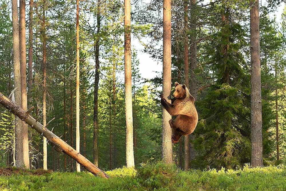 Sastopot lāci, jāizturas ar cieņu un lēnām jāatkāpjas. Kokā glābiņu nav lielas jēgas meklēt, jo lāči tajos rāpjas veiklāk nekā mēs.