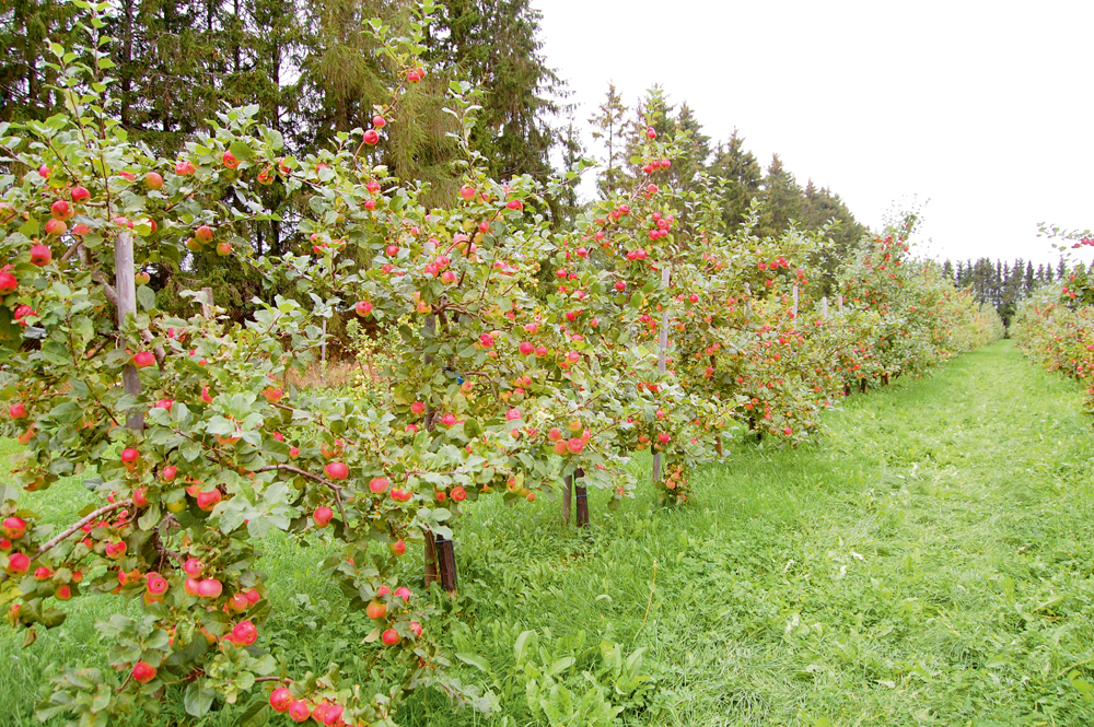 'Auksis' ābeļu izmēģinājumā Polli uz dažādiem maza auguma potcelmiem.