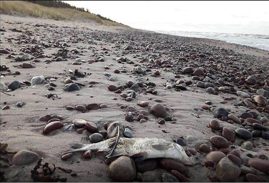 16. novembrī spēcīgs vējš Papes jūrmalā izskalojis bālganu vielu un beigtas zivis. Valsts vides dienests, tās nepārbaudot, mierina iedzīvotājus.