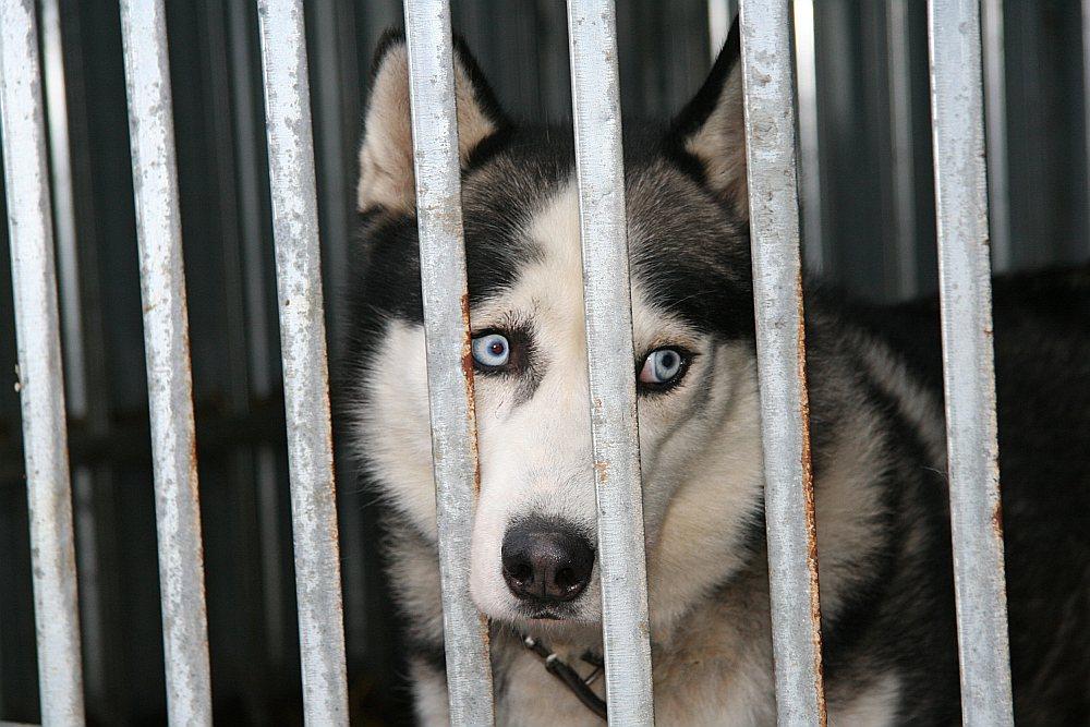 """No """"Haskiju parka"""", kas atrodas bijušajā Ziru skolā, izņēma 26 suņus un nogādāja patversmē """"Mežavairogi"""". Līdz vakardienai tikai divi suņi bija atraduši jaunus saimniekus."""