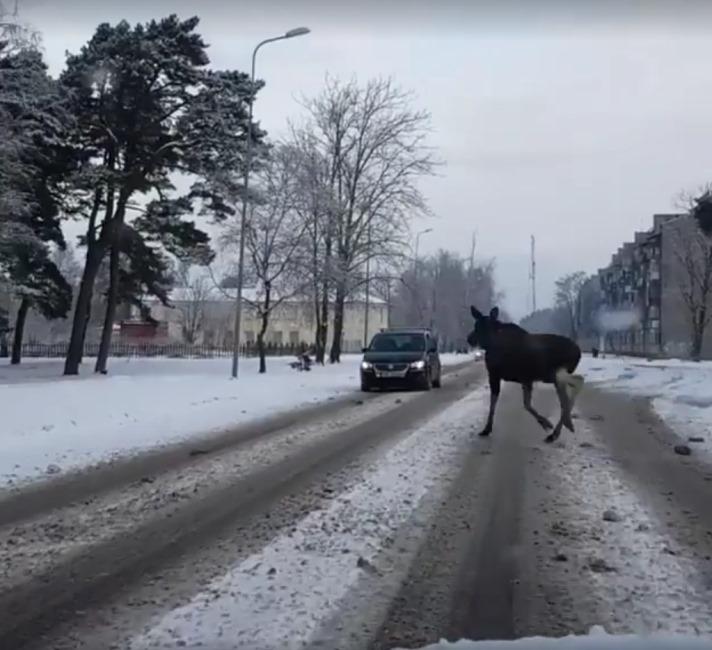 Alnis izskrējis rīta skrējienā Liepājas ielās.
