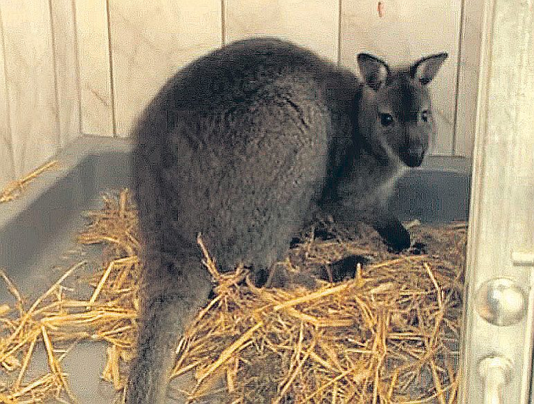 Iecavas valabijs šobrīd mitinās Rīgas Nacionālajā zooloģiskajā dārzā. To, visticamāk, gaida ceļš uz Poliju, kur to jau gaidot rudpelēko valabiju dāmu pulciņš.