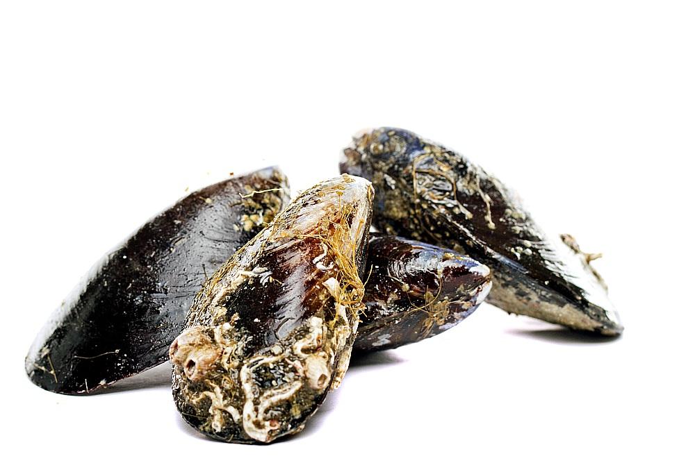 Melnā divvāku gliemene – ziemeļu ēdamgliemene jeb mīdija.