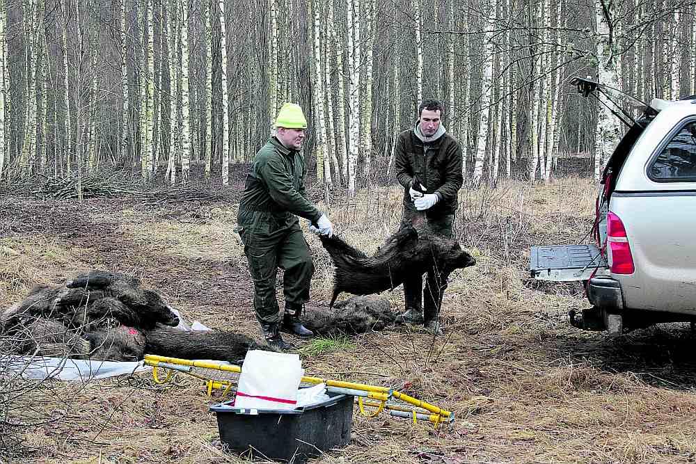 Līdz analīžu rezultātu saņemšanai mednieks drīkst vest mežacūku mājās un glabāt dzesētavā. Ja atzinums ir pozitīvs, kautķermeni transportēt vairs nedrīkst.