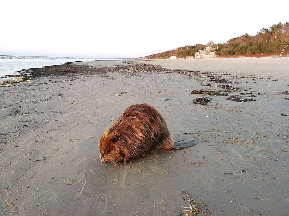 """Šo bebru svētdien saulrietā Dubultu pludmalē netālu no restorāna """"Orizzonte"""" sastapa """"LA"""" lasītāja. Lielupes izteka no šīs vietas ir apmēram desmit kilometrus tālu."""