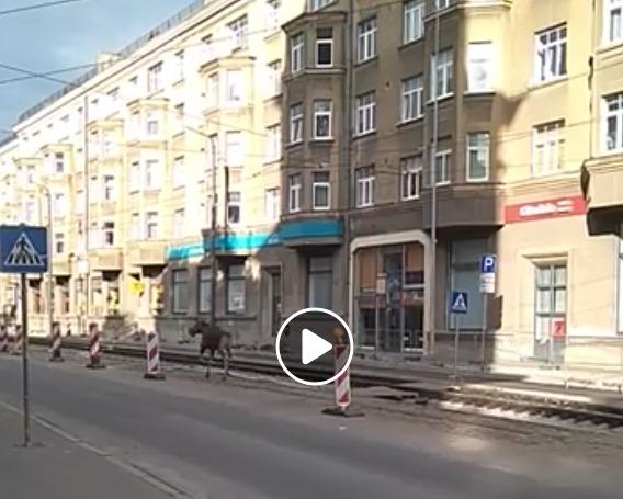 Alnis iemaldījis Liepājas centrā – skraida pa tramvaja sliedēm, kuras šobrīd remontē Lielajā ielā pilsētas centrā, 05.06.2018.