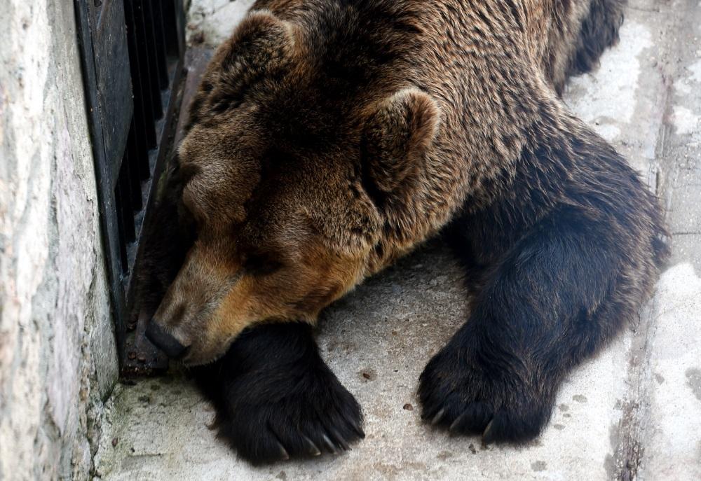 Ilustratīvs foto. Brūnais lācis Rīgas zoodārzā.