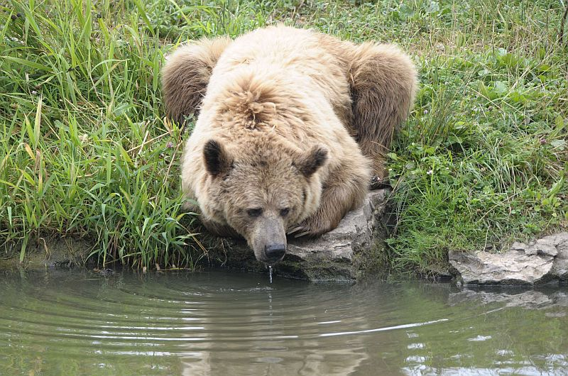 A brown bear drinks water at the Sainte-Croix zoologic park, in the French eastern city of Rhodes, on July 24, 2013.      AFP PHOTO / JEAN-CHRISTOPHE VERHAEGEN