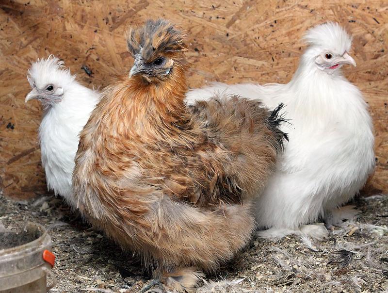 Zīda vistas