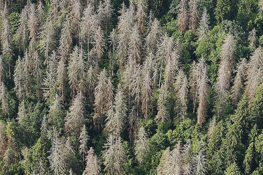 Mizgraužu postījumi mežos.
