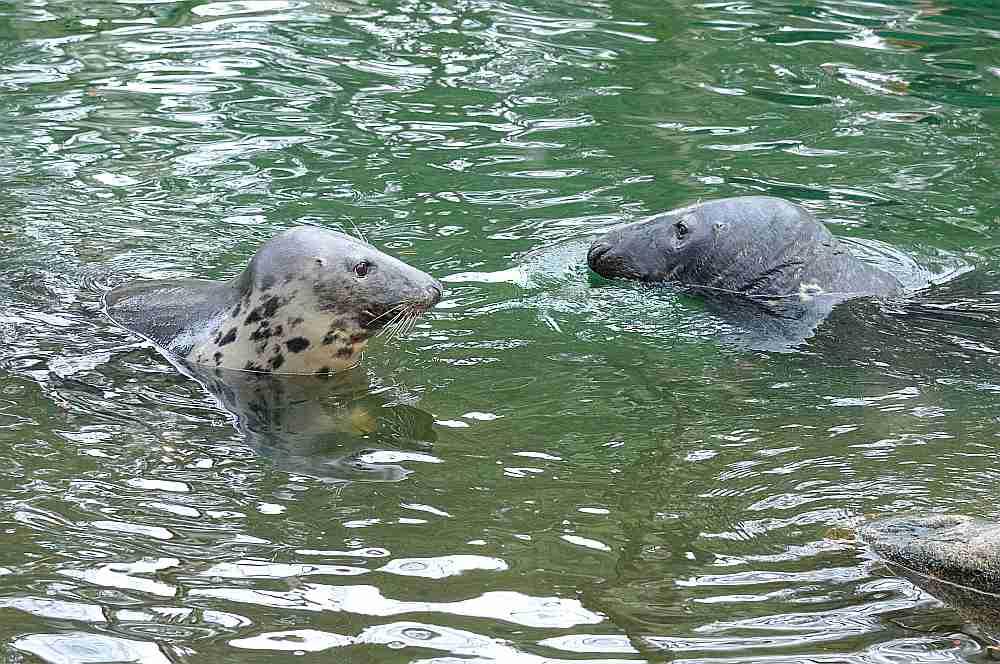 Roņa sugu tikai pēc galvas vien noteikt grūti ir pat biologiem, nemaz nerunājot par zvejniekiem. Baltijas jūrā visbiežāk sastopami ir tieši pelēkie roņi.