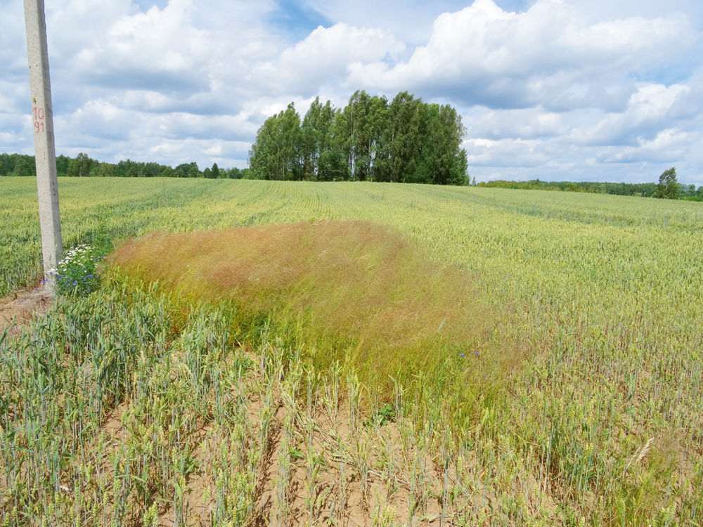 Parastās rudzusmilgas augu kolonija pie staba, kur nezāle nav tikusi ierobežota