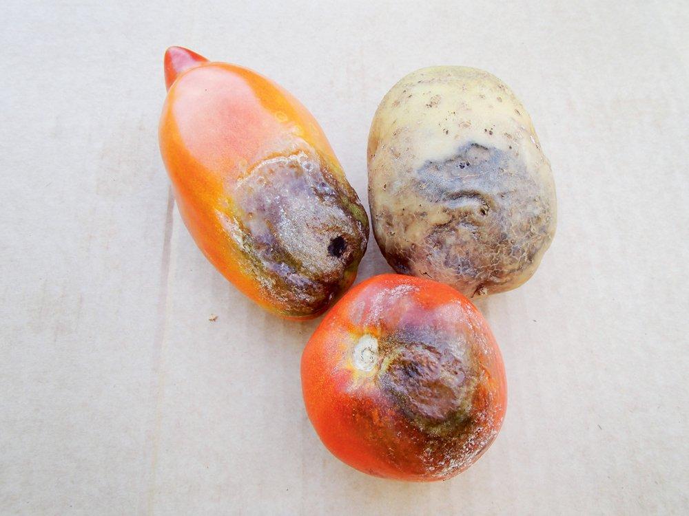 Lakstu puve kartupelim un tomāru augļu brūnā puve
