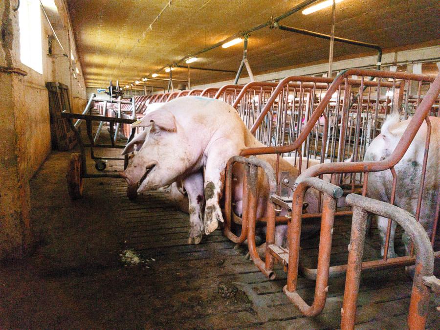 """""""Dzīvnieku brīvības"""" aktīvista Jura darba laikā uzņemtie kadri un paša novērojumi liecināja, ka """"Baltic Pork"""" Allažu fermā grūsnās sivēnmātes pretēji labturības prasībām tika turētas ļoti šauros metāla sprostos, kuros iespējams tikai gulēt vai stāvēt."""